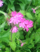 wild flowers dew drops pink flower empty nestopia scotland