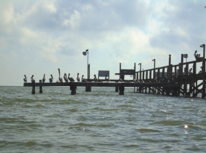 pelicans on pier compressed